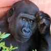 Loss in Genetic Diversity of Eastern Gorillas Has Occurred in Just a Few Generations