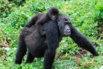 The magnificent Grauer's gorillas have experienced severe population declines in the last two decades. This population loss has left a deep mark in the genomes of this critically endangered great ape.