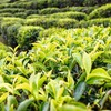 Chromatography Helps Decipher Influence of Weather on Tea Flavor
