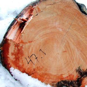 ‌The preserved rings of a pine tree, which started growing in 1369 and fell into a cold lake in 1716, allow scientists to measure what the temperature was like in the summers of each year's growth.
