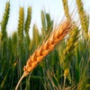 New Biochemical Pathway May Aid Development of More Resilient Crops