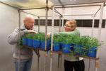 Ozone Test: Frode Stordal and Ane Vollsnes are researching how plants are damaged by ozone. This is done in the phytotron, an advanced facility where it is possible to test what happens to plants under different climatic conditions.