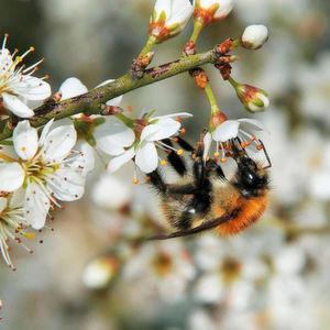 Varroamilbe-gef-hrdet-auch-Wildbienen
