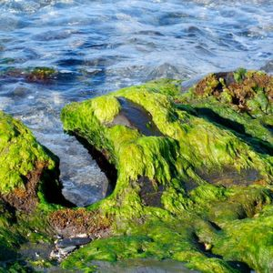 Researchers developeded a new, highly efficient system for removing water from algae biomass.