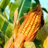 118-Year-Old Experiment Could Boost Corn Yields