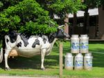 Only one of La Fageda's special features — company-owned cows deliver the milk for the yoghurt.