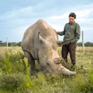 Jan Stejskal of the Dvůr Králové Zoo (Czech Republic) checks on Fatu, the youngest of the two northern white rhinos on the planet the day before the procedure on Ol Pejeta Conservancy.