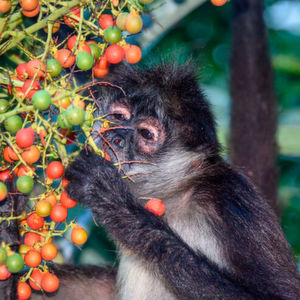 Fruit-eating spider monkeys are extraordinarily sensitive to the taste of ethanol.