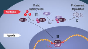 When oxygen levels are low (hypoxia), HIF-1α is protected from degradation and accumulates in the nucleus, where it associates with ARNT and binds to specific DNA sequences (HRE) in hypoxia-regulated genes (1). At normal oxygen levels, HIF-1α is rapidly degraded by the proteasome (2). Oxygen regulates the degradation process by the addition of hydroxyl groups (OH) to HIF-1α (3). The VHL protein can then recognize and form a complex with HIF-1α leading to its degradation in an oxygen-dependent manner (4).