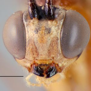 Large Parasitoid Wasp Species Discovered in the African Jungle