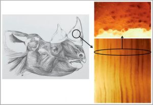 Head of Browse (or Black) Rhino drawn to life by Jonathan Kingdon showing to the right both length and cross sections of slivers of its horn.