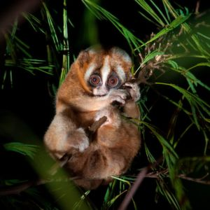 The Javan slow loris is an old species of primate, but has a rhythm of sleep similar to the more modern human rhythm.
