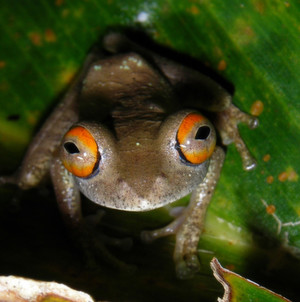 Seuche bedroht Amphibien auf Madagaskar
