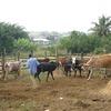 Neues Hepatitis C-verwandtes Rindervirus entdeckt